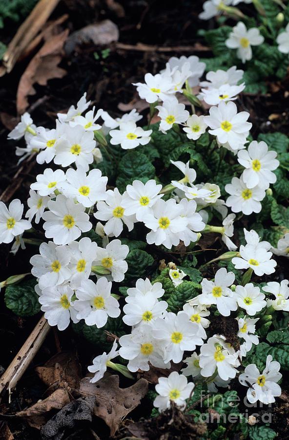 Primula 'gigha White' Photograph - Primroses by Adrian Thomas
