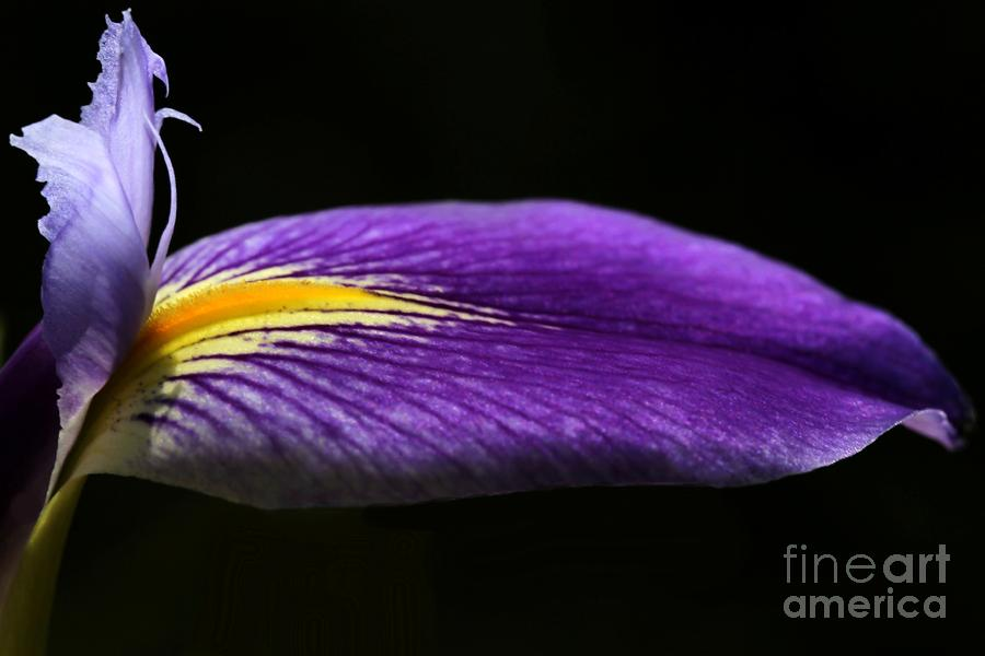 Profile Of An Iris Photograph  - Profile Of An Iris Fine Art Print