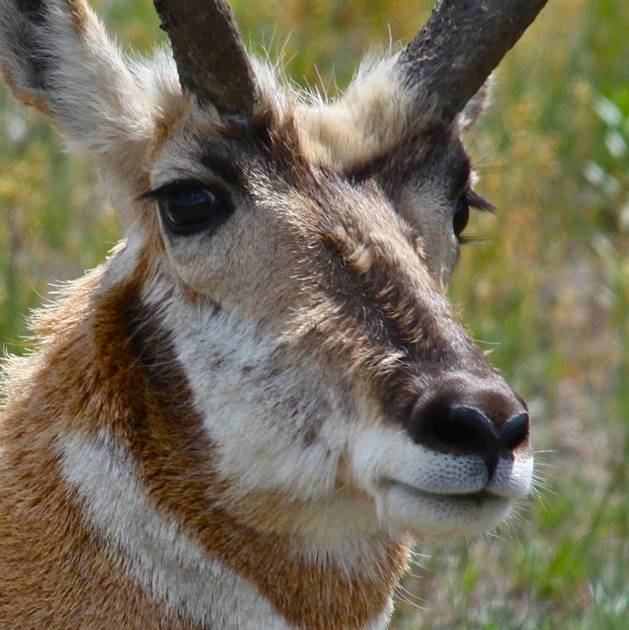 Pronghorn Buck Face Study Photograph