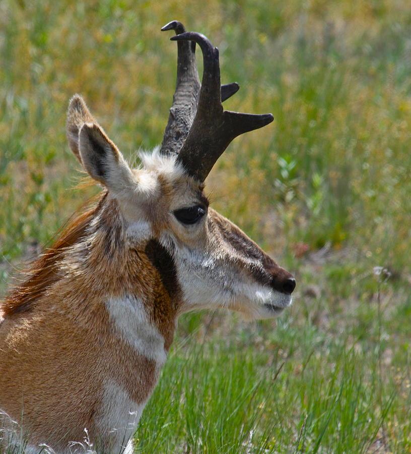 Pronghorn Buck Profile Photograph