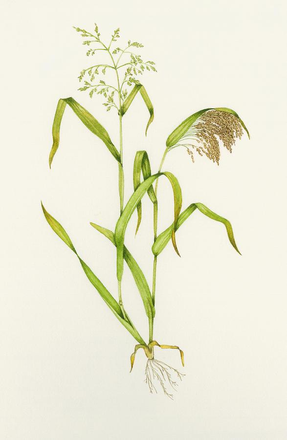 Common Millet Photograph - Proso Millet (panicum Miliaceum), Artwork by Lizzie Harper