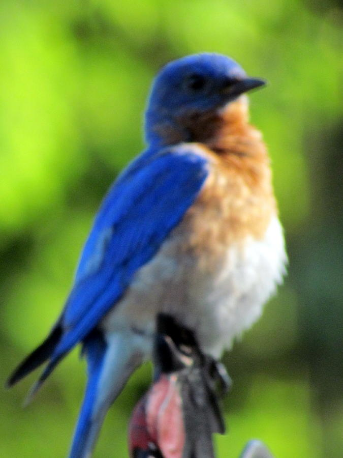 Proud Bluebird Out Kitchen Window Photograph  - Proud Bluebird Out Kitchen Window Fine Art Print