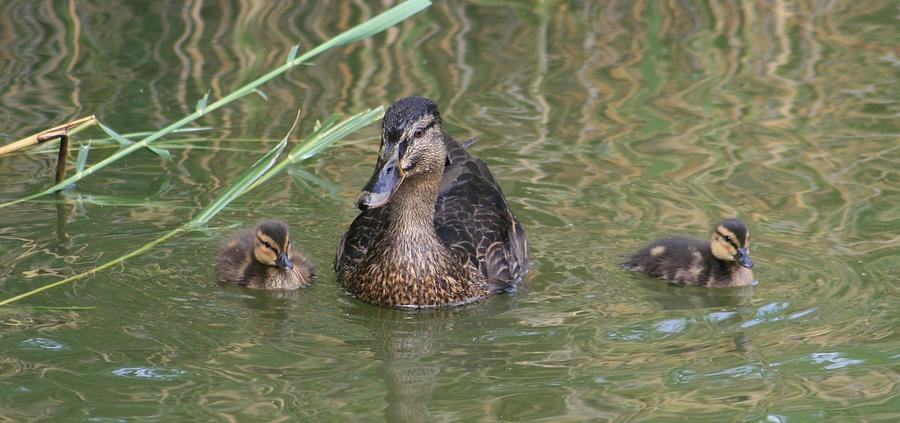 Proud Mom Duck Photograph