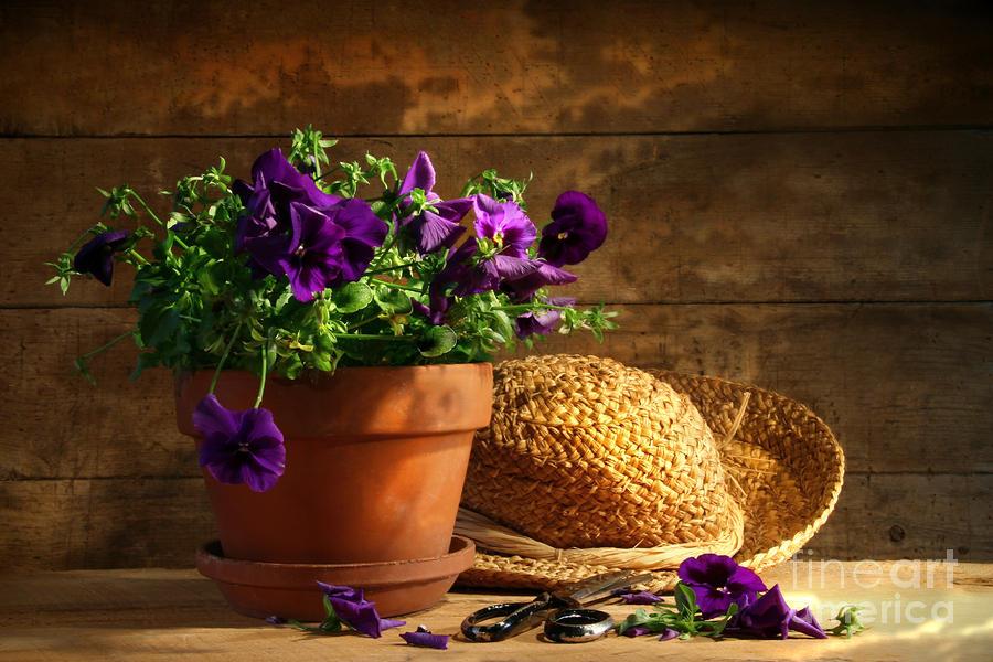 Pruning Purple Pansies Photograph