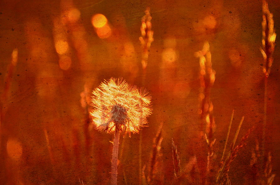 Dandelion Photograph - Puff Of Sunset by Emily Stauring