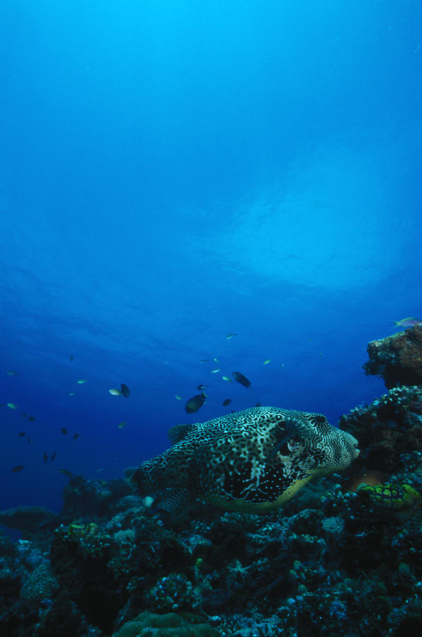 Pufferfish On Coral Reef Photograph