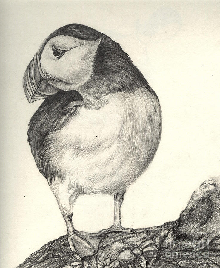 Puffin Drawing  - Puffin Fine Art Print