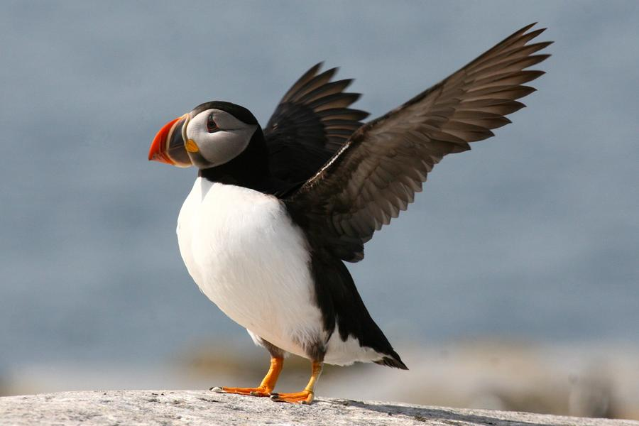 Puffin Impersonating An Eagle Photograph