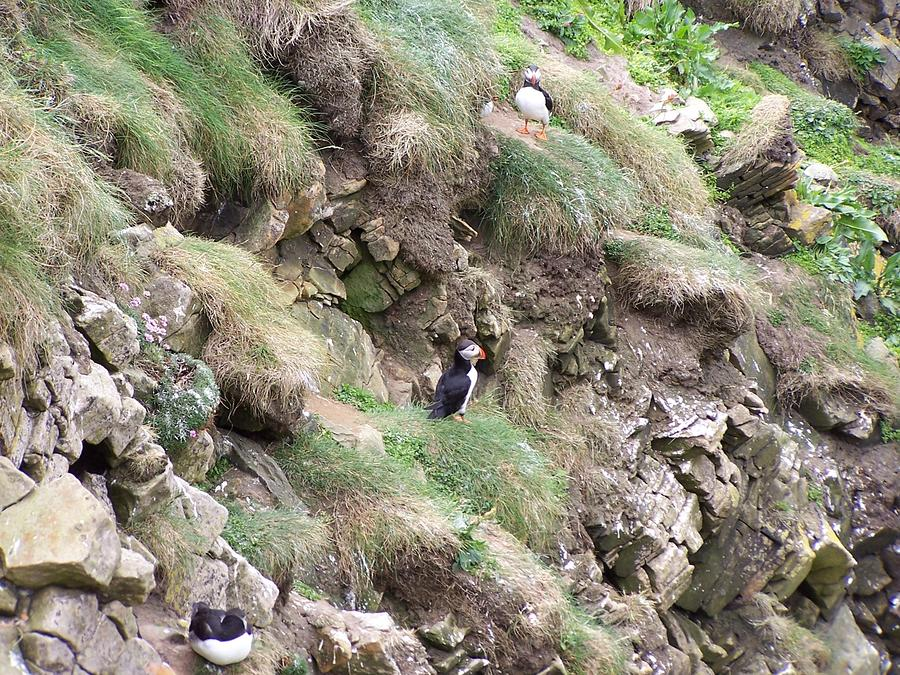 Puffins  Photograph
