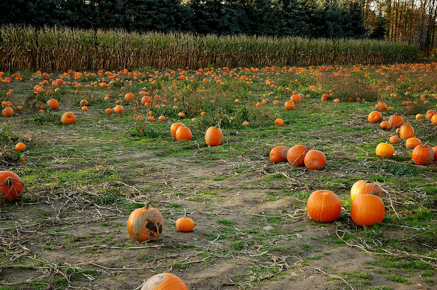 Pumpkin Patch Photograph
