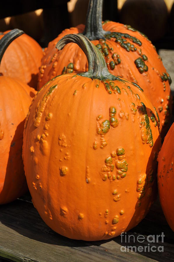 Pumpkinville Photograph