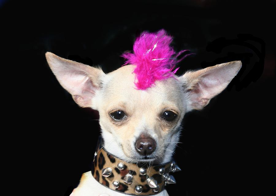 Punk Rock Chihuahua Chihuahuas Dog Dogs Pet Pets Animal Animals Puppy Puppies 80's Mohawk Photograph - Punk Rock Chihuahua by Ritmo Boxer Designs