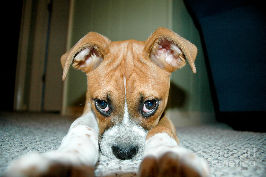 Puppie Dog Eyes Photograph