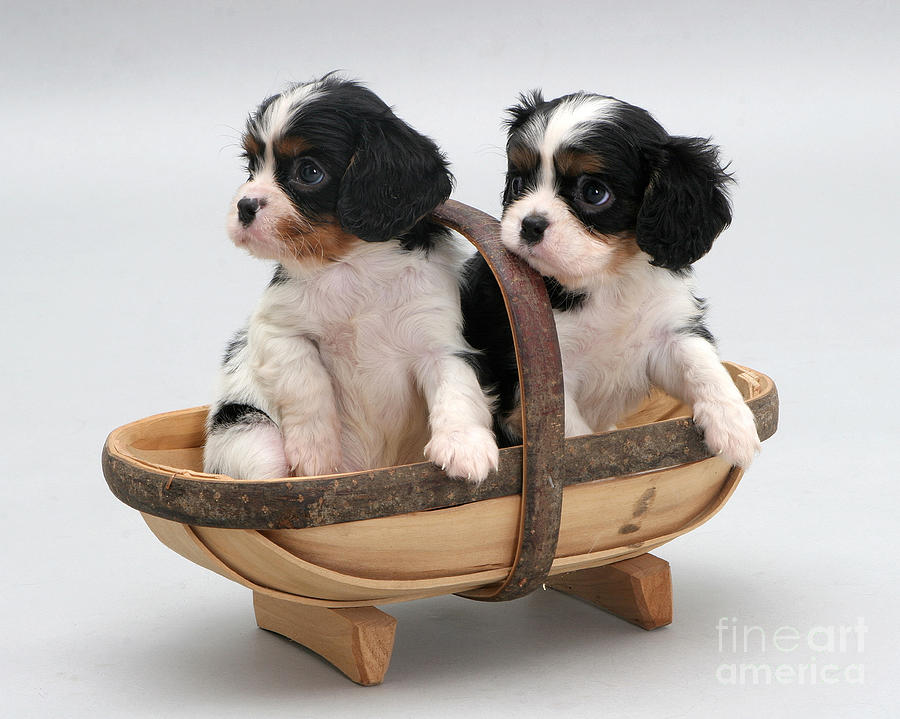 Puppies In A Trug Photograph
