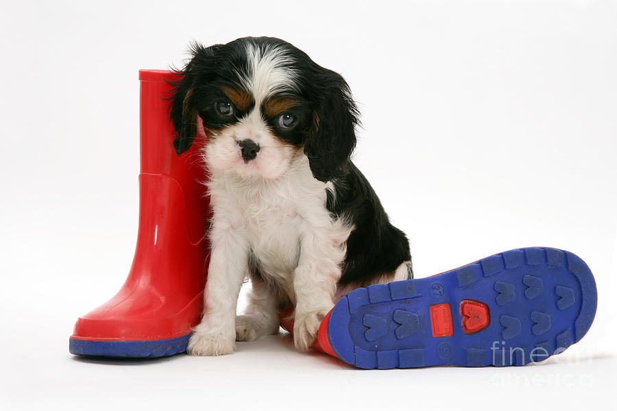 Puppies With A Childs Rain Boots Photograph