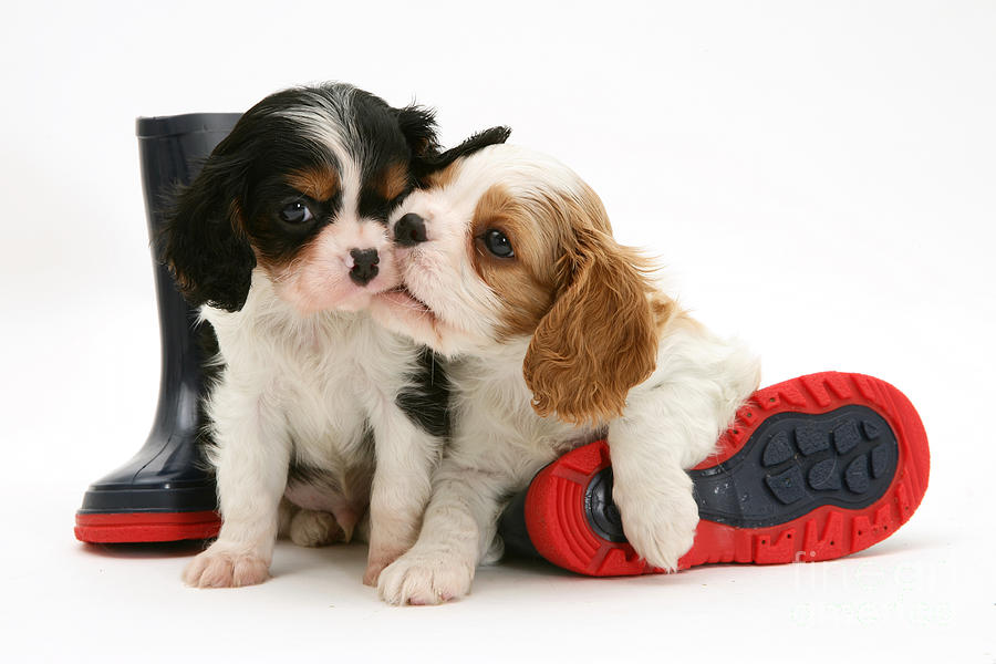 Puppies With Rain Boots Photograph