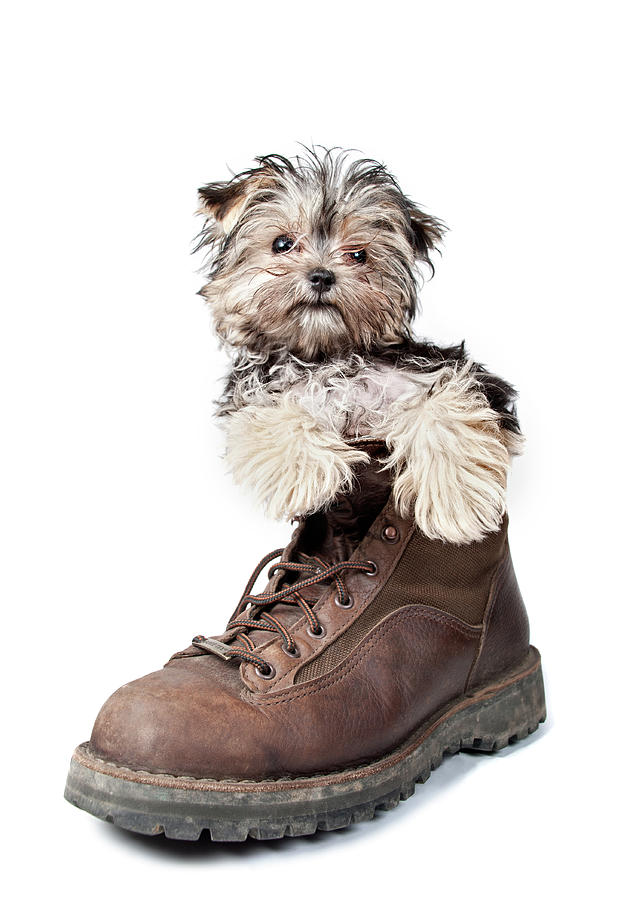 Puppy In A Boot Photograph  - Puppy In A Boot Fine Art Print