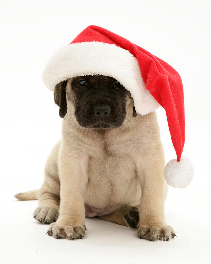 Puppy In A Santa Hat Photograph