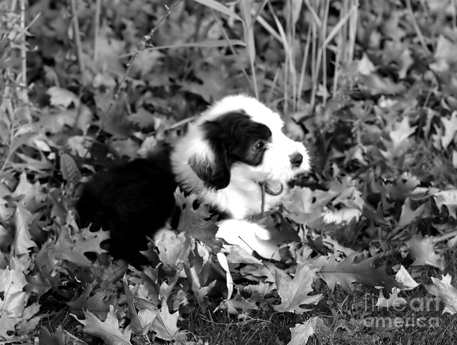 Puppy In The Leaves Photograph