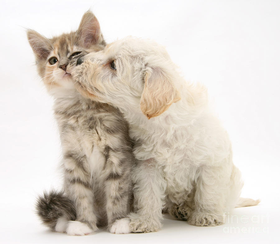 Puppy Nuzzles Kitten Photograph