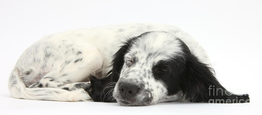 Puppy Sleeping Photograph  - Puppy Sleeping Fine Art Print