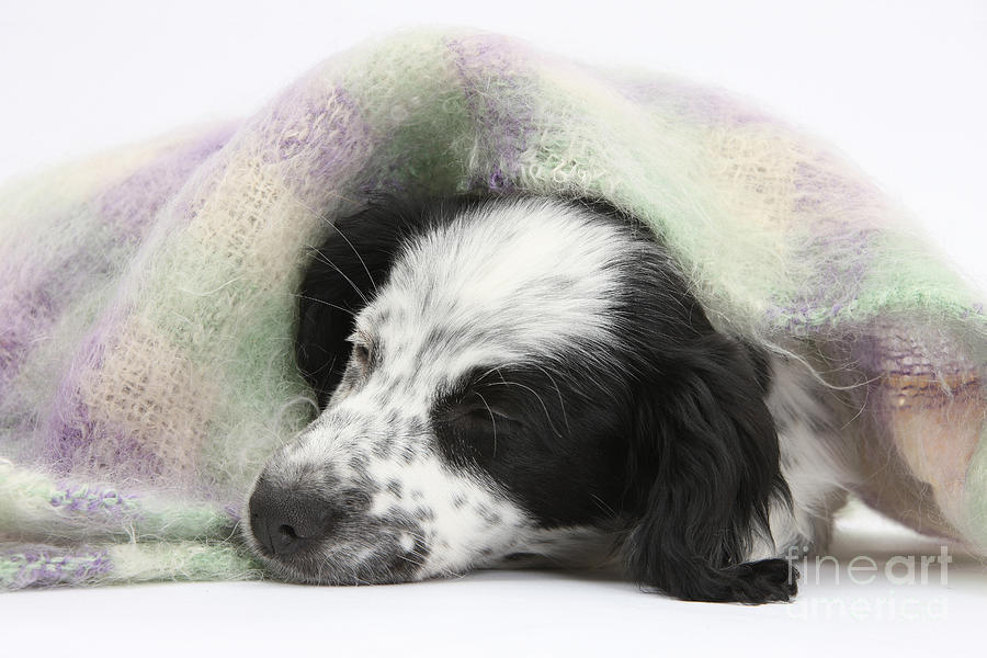Puppy Sleeping Under Scarf Photograph  - Puppy Sleeping Under Scarf Fine Art Print