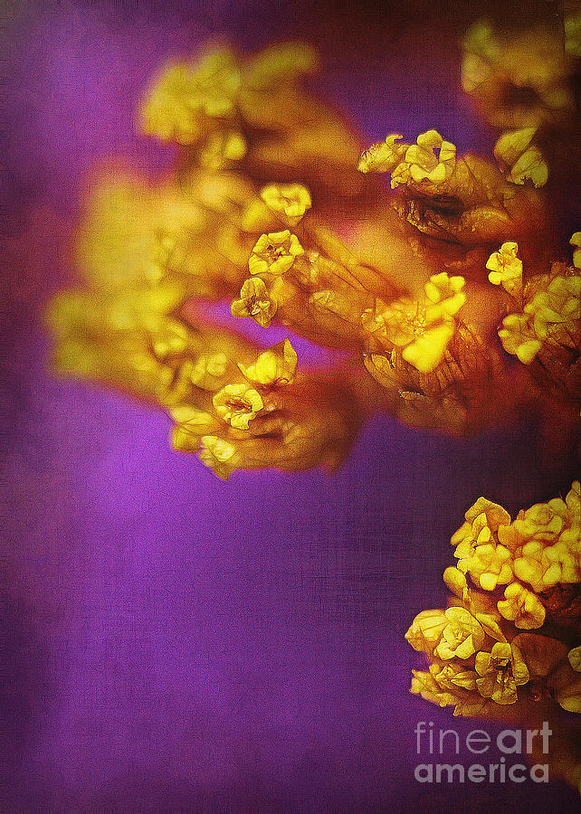 Purple And Gold 2 Photograph  - Purple And Gold 2 Fine Art Print