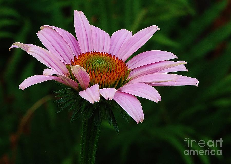 Purple Cone Flower Photograph