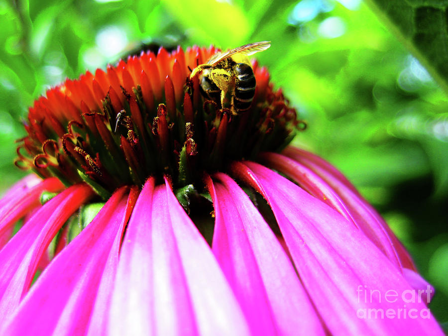 Purple Cone Flower Photograph  - Purple Cone Flower Fine Art Print