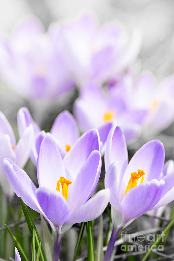 Purple Crocus Blossoms Photograph  - Purple Crocus Blossoms Fine Art Print