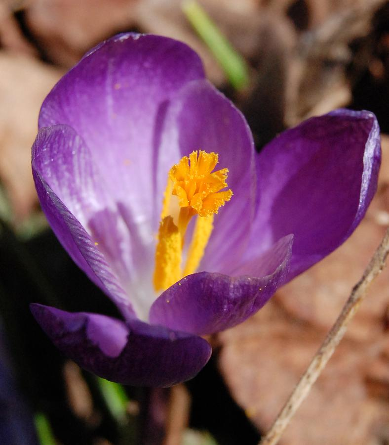 Purple Crocus Photograph