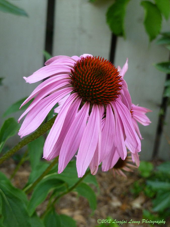 Purple Echinacea Photograph  - Purple Echinacea Fine Art Print