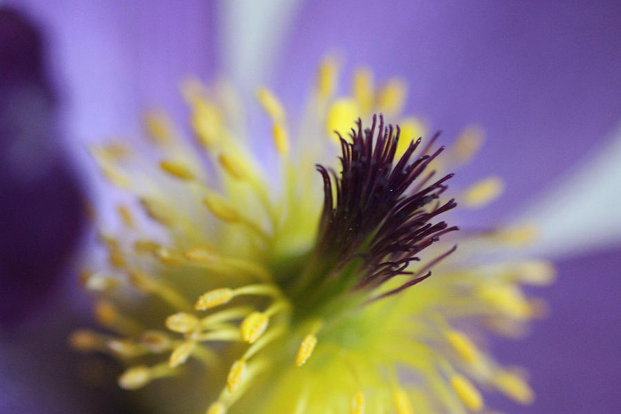 Purple Flower Center Photograph  - Purple Flower Center Fine Art Print