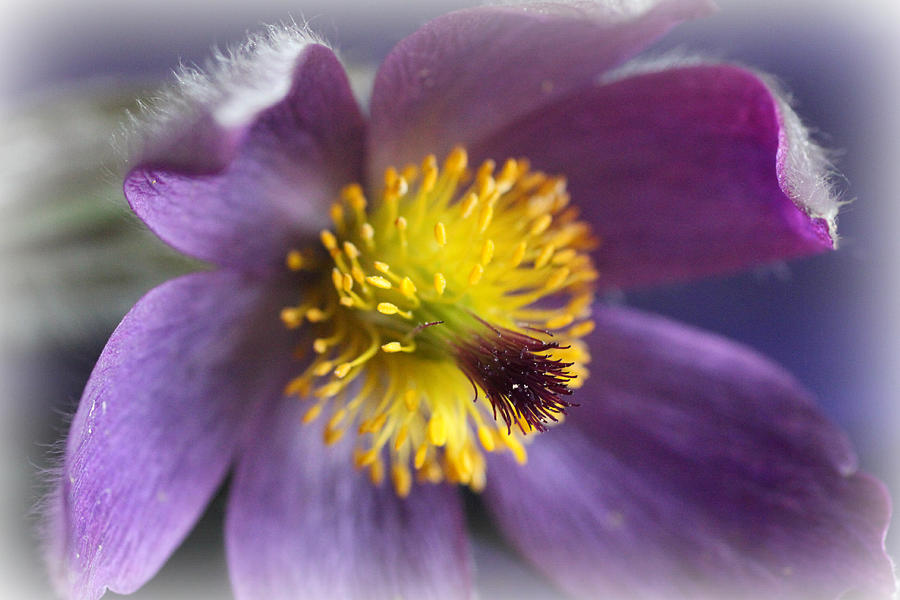 Purple Flower Frosted Photograph