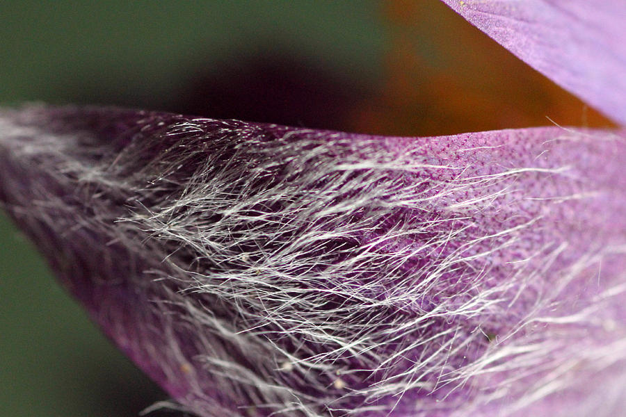 Purple Flower Petal Macro Photograph  - Purple Flower Petal Macro Fine Art Print