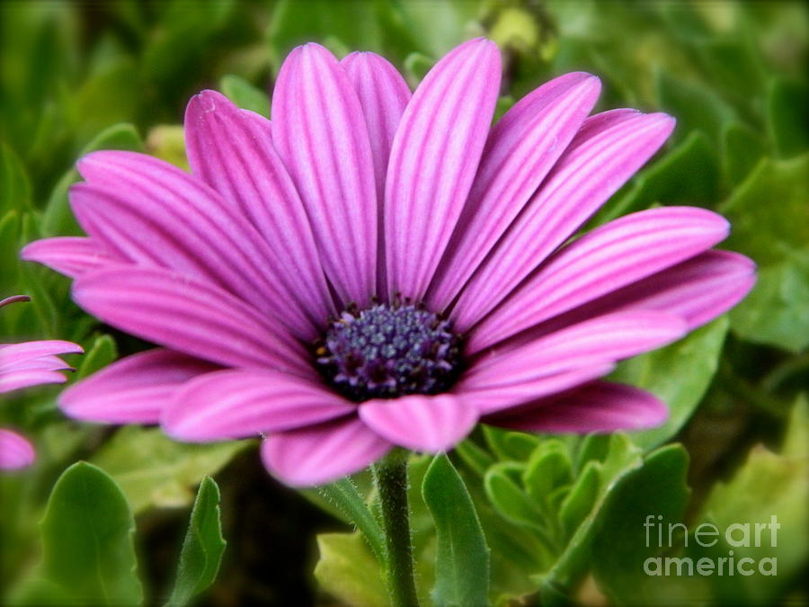 Flower Photograph - Purple Flower by Sara  Mayer
