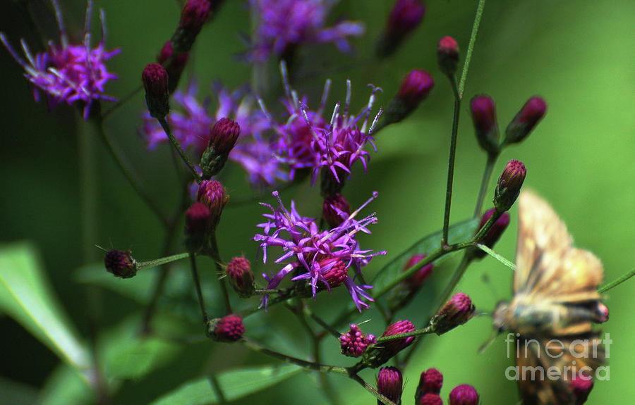 Purple Flowers And The Flirtatious Moth Photograph  - Purple Flowers And The Flirtatious Moth Fine Art Print