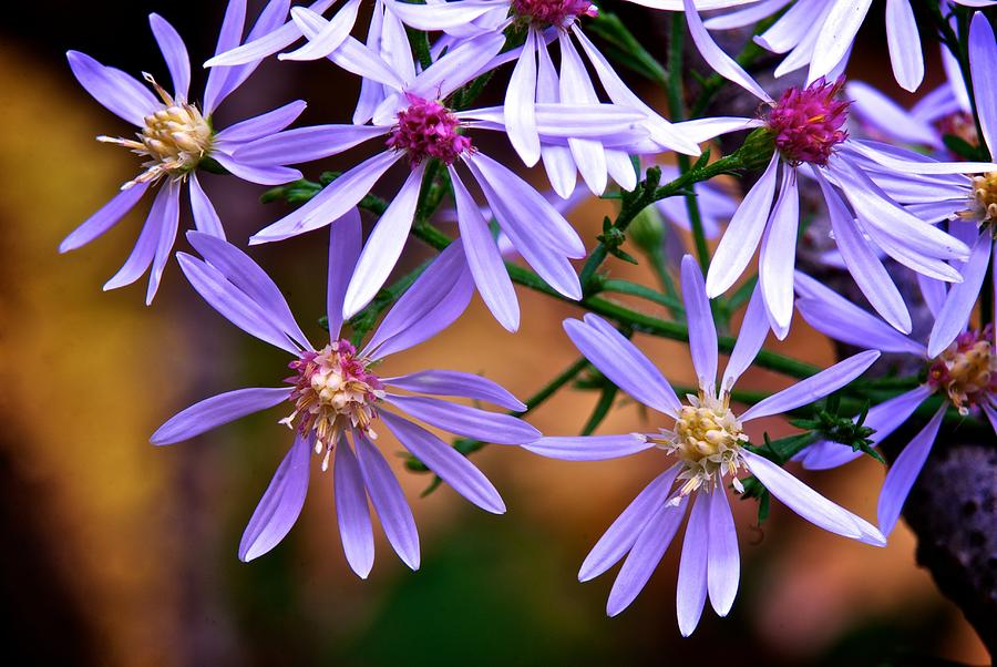 Purple Flowers Photograph  - Purple Flowers Fine Art Print
