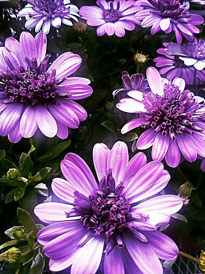 Purple Photograph - Purple Haze by Kevin D Davis