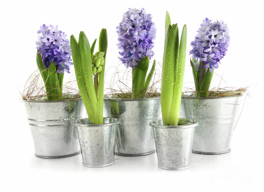 Purple Hyacinths Photograph  - Purple Hyacinths Fine Art Print