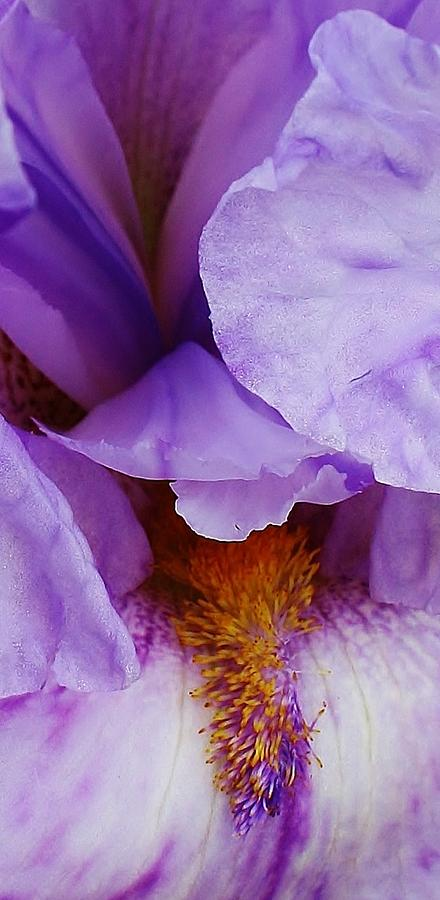 Purple Iris Up Close Photograph