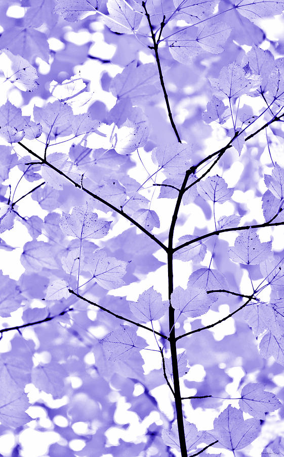 Purple Lavender Leaves Melody Photograph