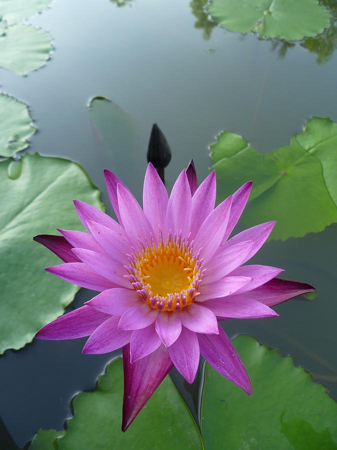 Purple Lotus In A Pond Photograph  - Purple Lotus In A Pond Fine Art Print