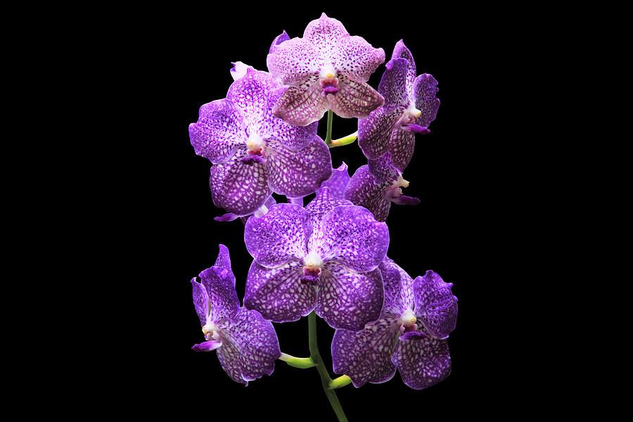 Purple Flower Drawing Purple Orchid Flower