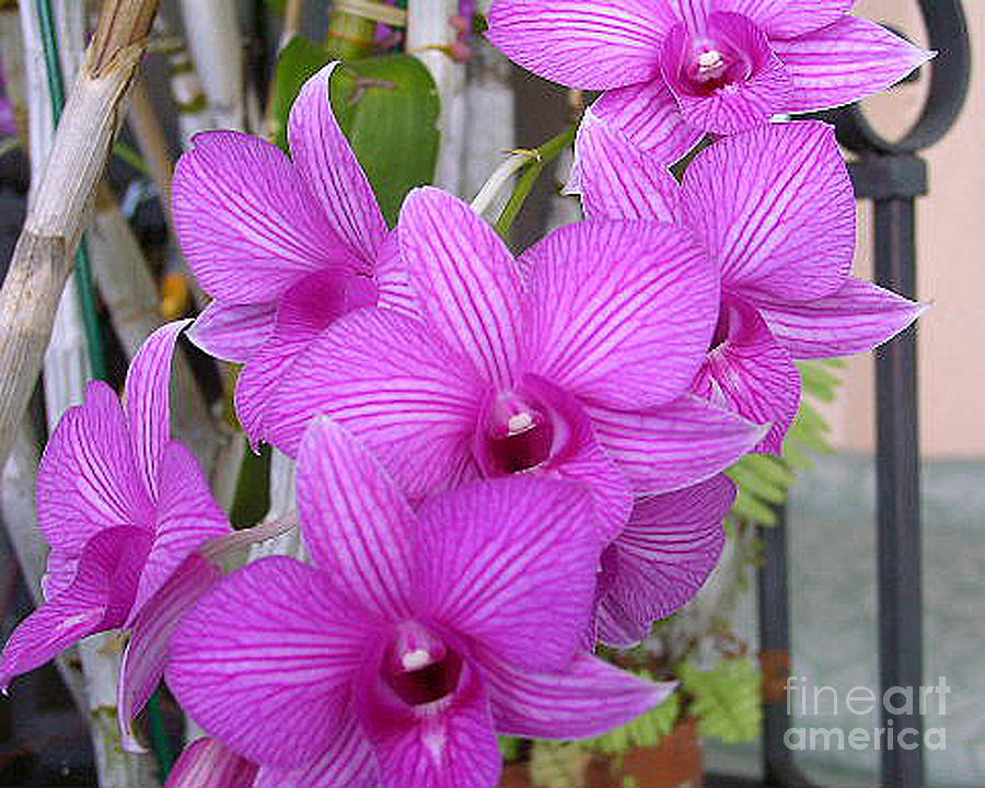 Purple Orchids Photograph  - Purple Orchids Fine Art Print