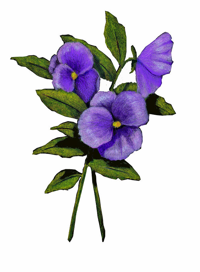pansy flower drawing - photo #29
