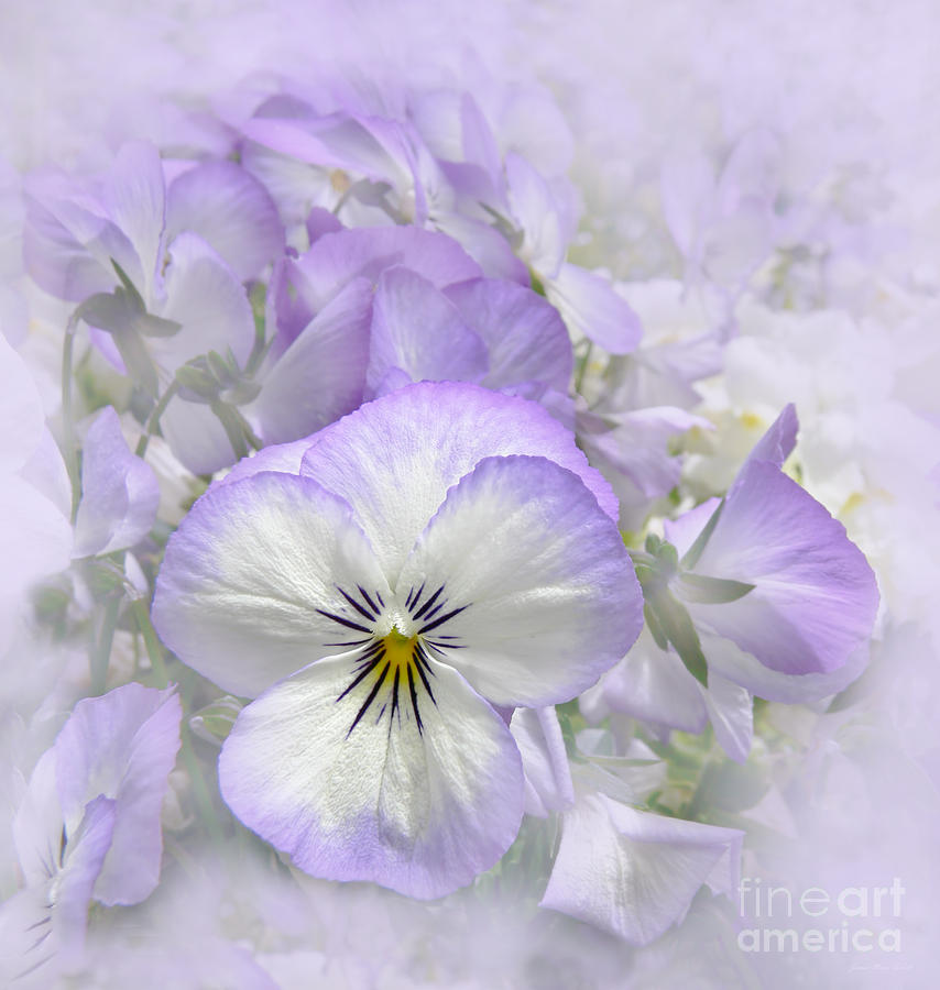 Purple Pansy Floral Photograph  - Purple Pansy Floral Fine Art Print