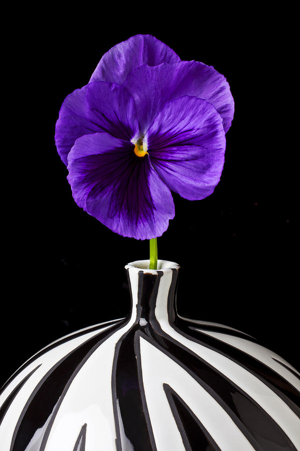 Purple Pansy Photograph  - Purple Pansy Fine Art Print