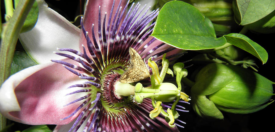 Purple Passion Flower  Photograph  - Purple Passion Flower  Fine Art Print