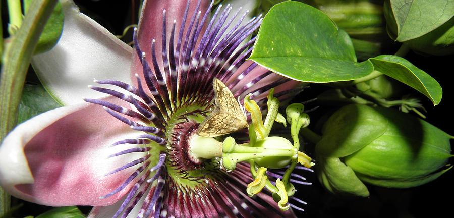 Purple Passion Flower  Photograph